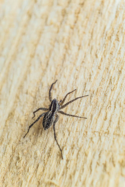Fiddleback spider, Violin spider or Brown hermit spider (Loxosceles reclusa). Poisonous arthropod on a wooden surface. Wildlife with selective focus. stock photo