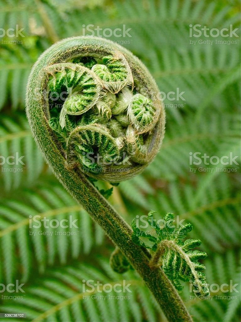 Fiddlehead fern with fern leaf textured background symbolizing beginnings new life stock photo