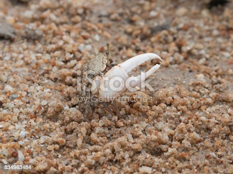 A Fiddler crab is on a sandy beach near the river in a mangrove forest.