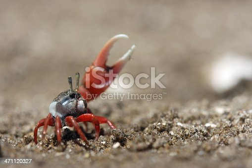 A tiny fiddler lifting his huge claw perforing a ritual display on the beach