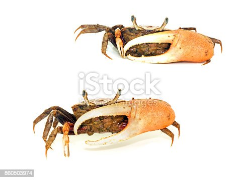 Fiddler crab with big claw isolated on white background
