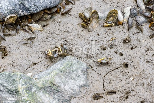 Fiddler Crabs Fighting And Watching
