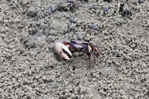 A fiddler grab, Uca tangeri, on a mudflat in The Gambia, West Africa.