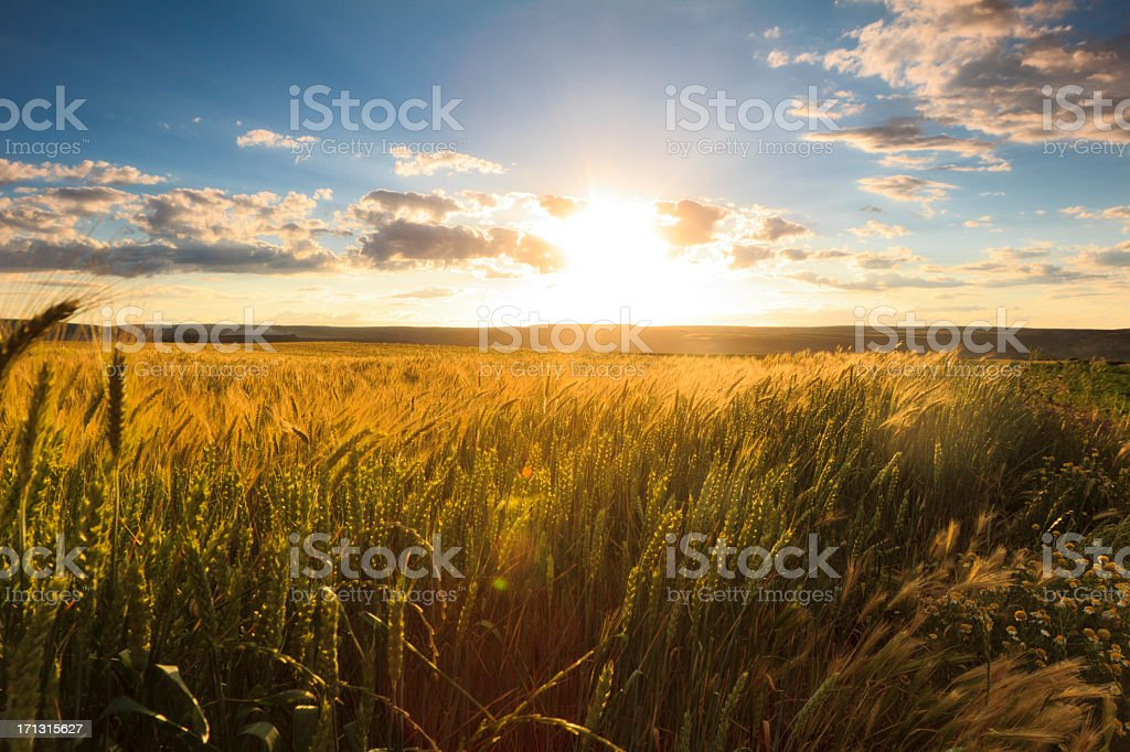 field and sunset stock photo