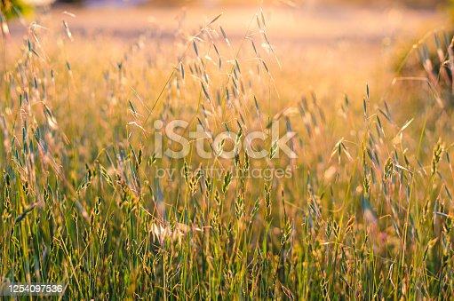 519188550 istock photo Field at Golden Hour; Sunlight Behind Tall Grass 1254097536