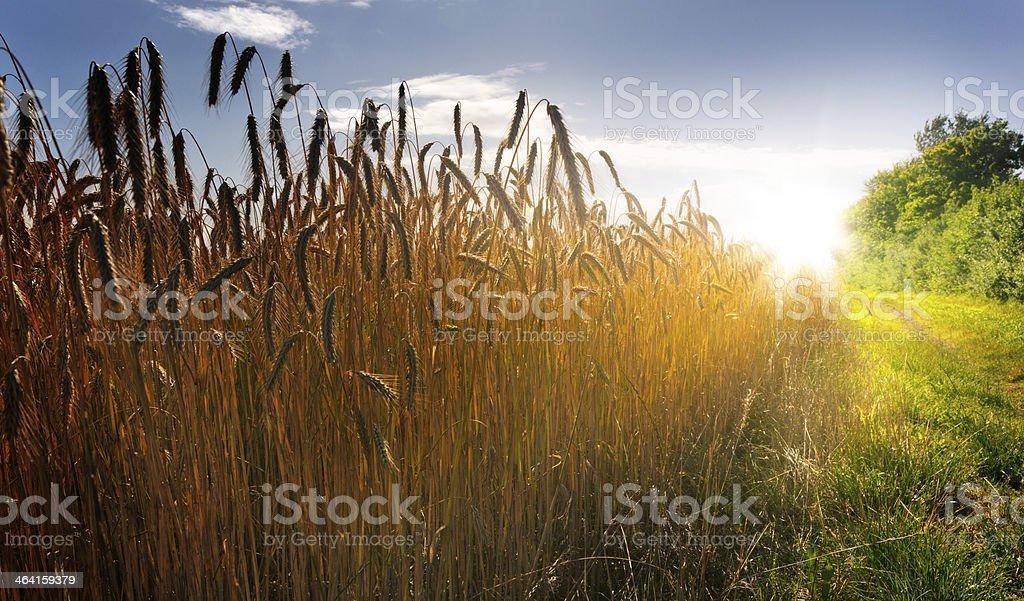 Field at Sunset stock photo