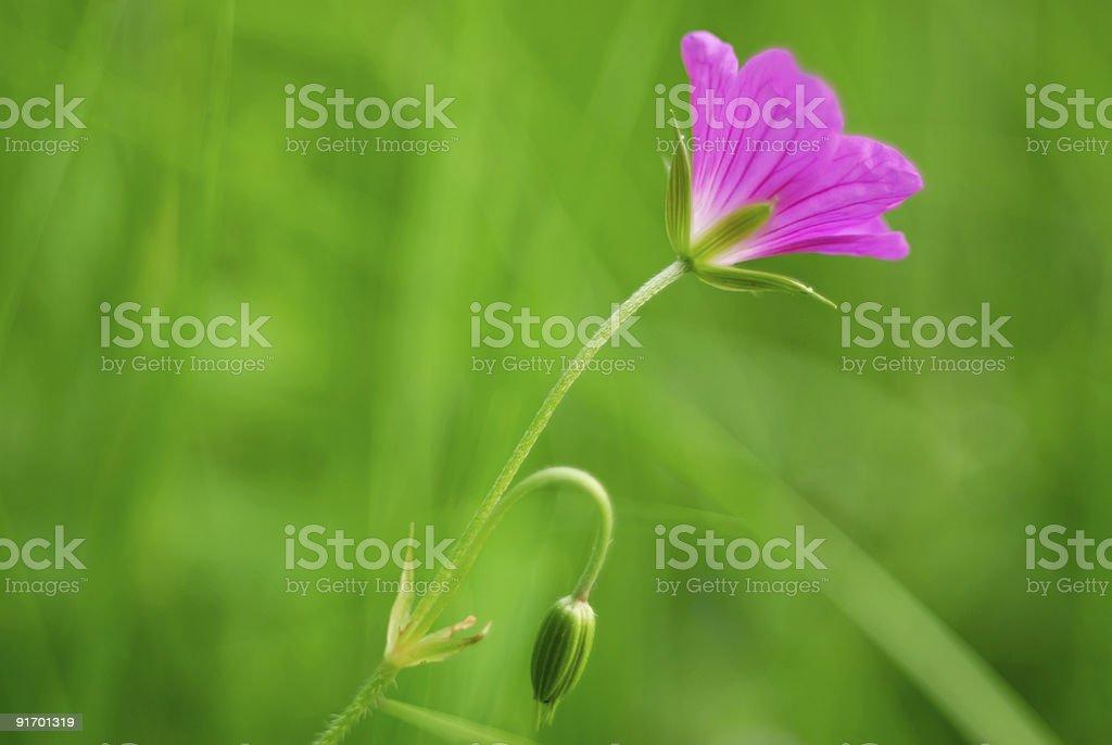 Field beautiful flower- geranium royalty-free stock photo