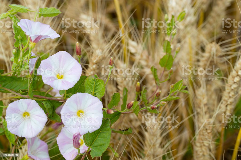 Field bindweed stock photo