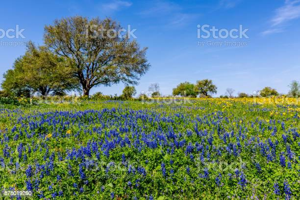 Photo of Field Blanketed with a Variety of Texas Wildflowers.