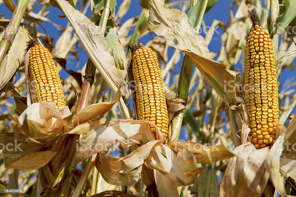 Field Corn on their stalks ready for harvest royalty-free stock photo