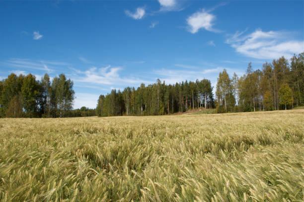 """""""Field corn rye in Sweden stock photo"""