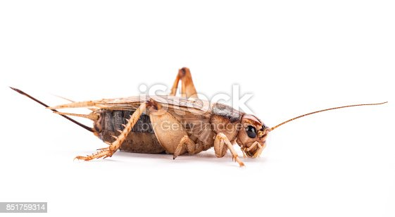 istock Field Cricket (Gryllus) isolated on white background 851759314