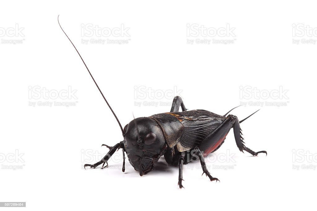 Field cricket isolated on white royalty-free stock photo