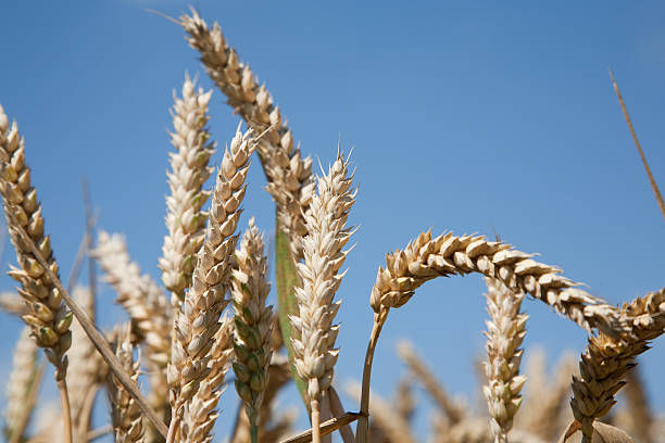 field crop stock photo