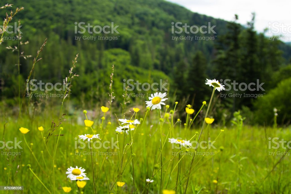 Field daisies on a background of green slope Carpathian mountains. photo libre de droits