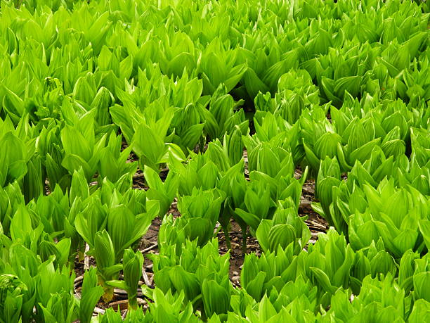 Field False Hellebore Plants  corn lilly stock pictures, royalty-free photos & images
