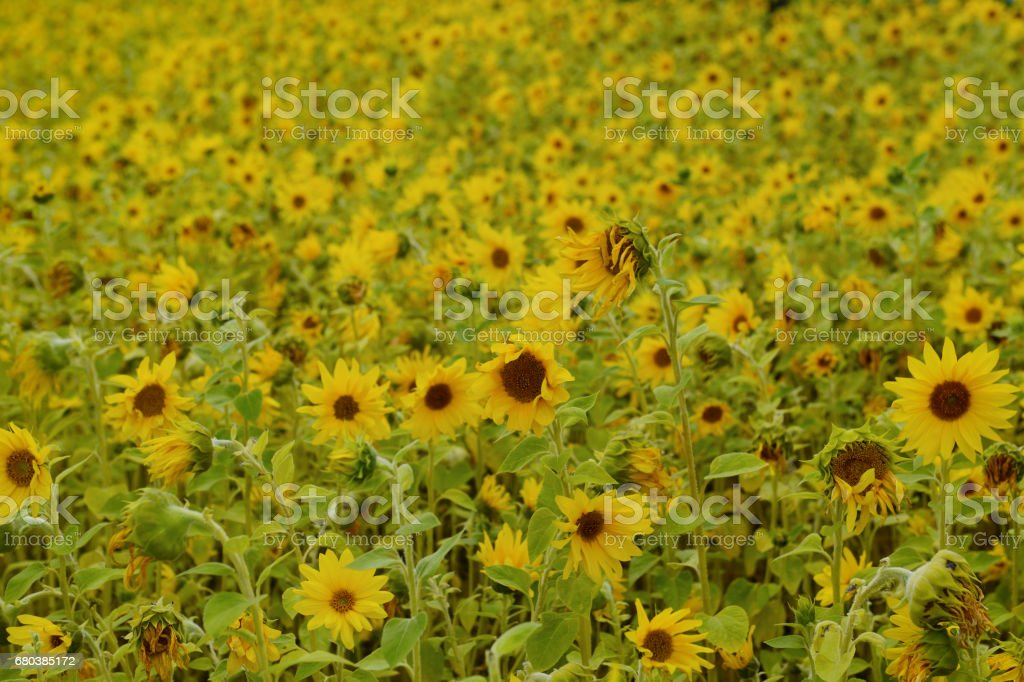 Field filled with blooming sunflowers on a spring day royalty-free stock photo