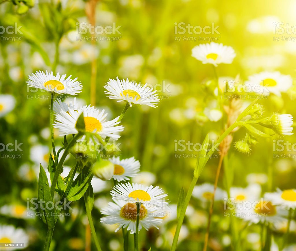 Field filled with camomile flowers royalty-free stock photo