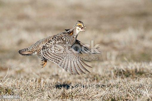 Prairie Chicken Flying