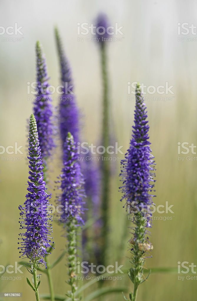 Field flower royalty-free stock photo