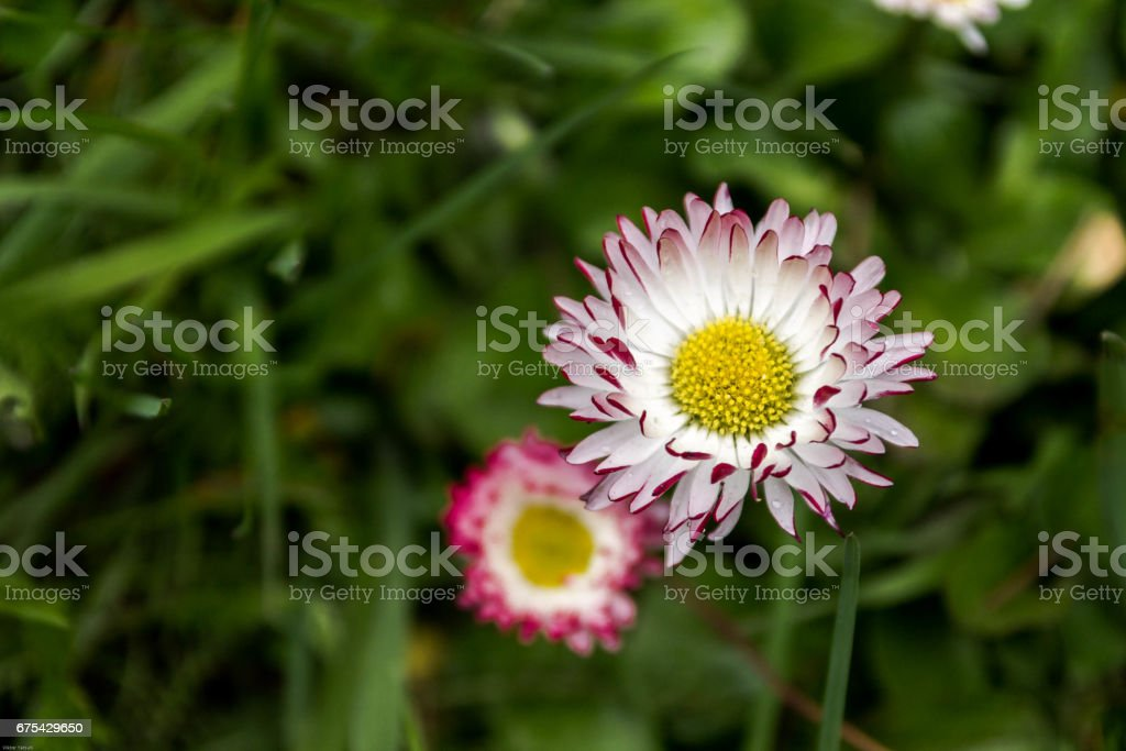 Field flower with white petals. stock photo