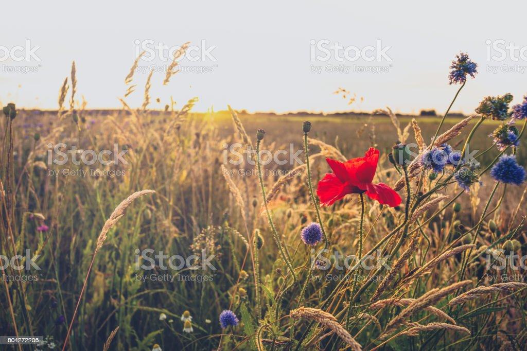 Field flowers along the roads in a summer landscape stock photo
