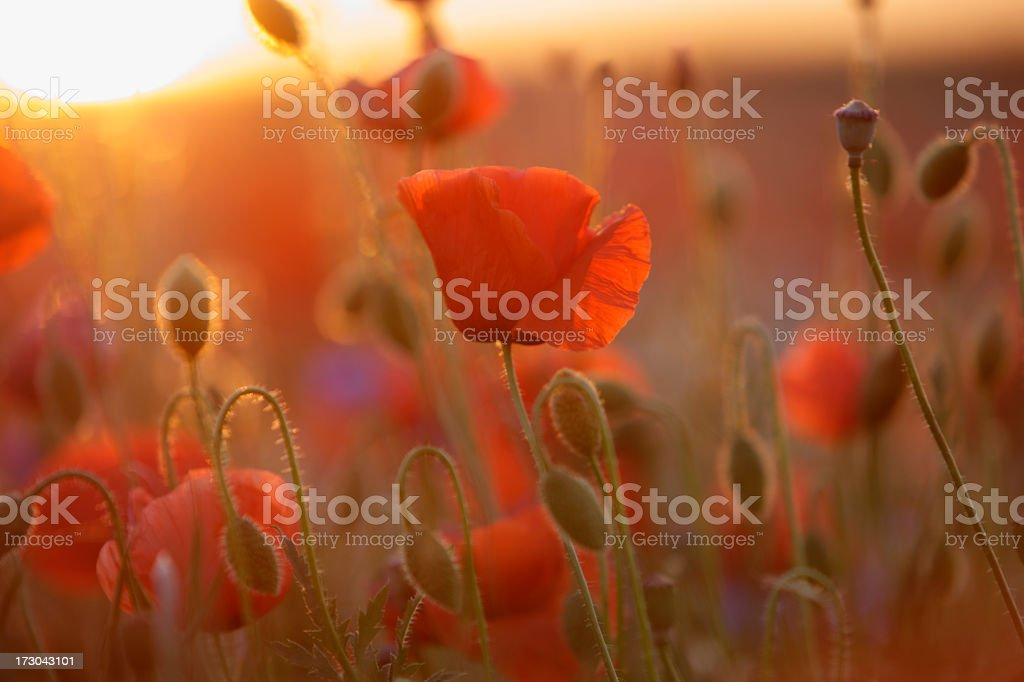A field full of poppy flowers on a sunny day royalty-free stock photo