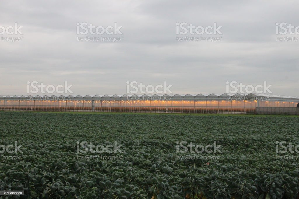 Field full of sprout plants in Zevenhuizen with greenhouse on background colored orange by assimilation lights stock photo