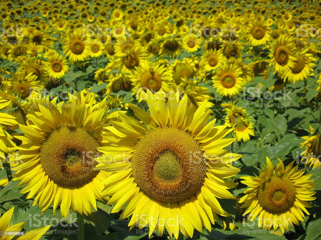 field full of sunflowers in southern France stock photo