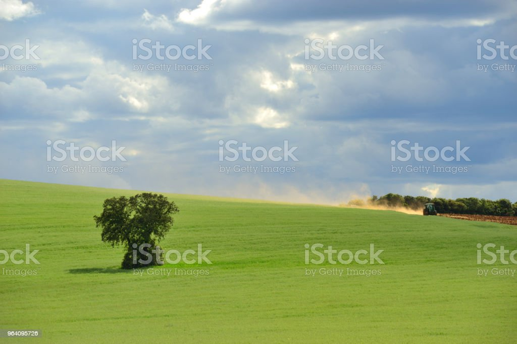 Field full of wheat with oaks. - Royalty-free Agricultural Field Stock Photo