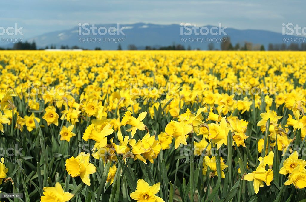 Field full of yellow daffodils under a blue sky royalty-free stock photo