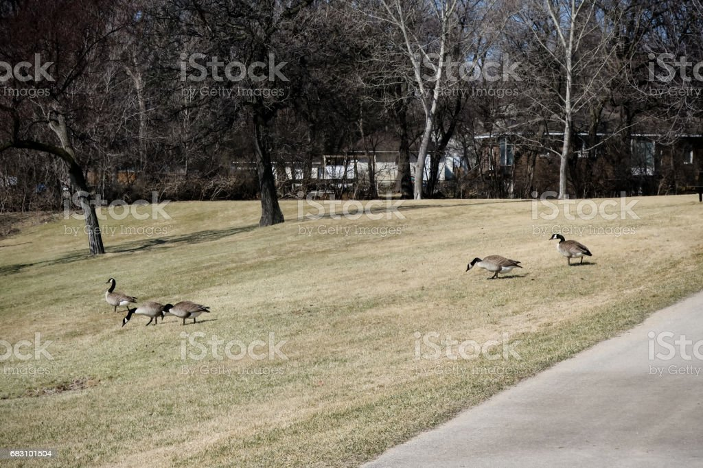 field geese stock photo