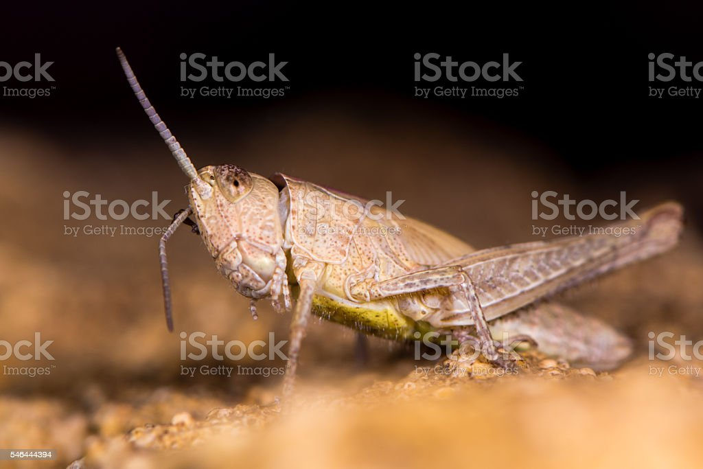 Field Grasshopper Brown Form Preening Ant Stock Photo - Download
