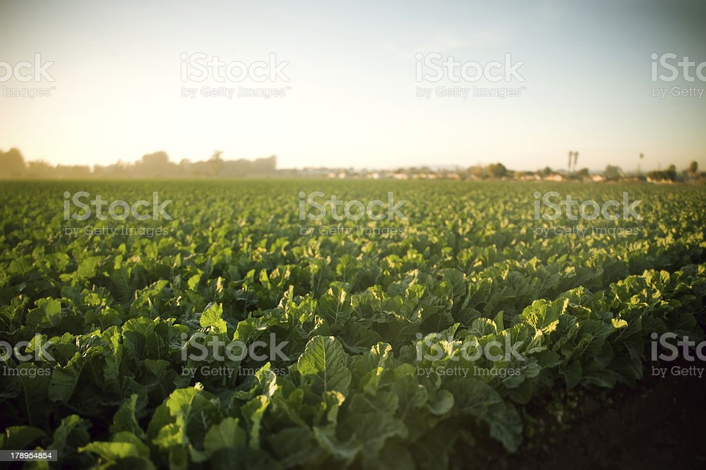 Field Green Crops Sunset stock photo
