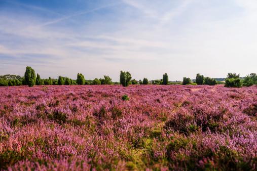 field in Lueneburg Heath