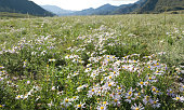 A field in the mountains with lots of Daisy flowers. Summer in the Altai mountains. Flowering meadow.