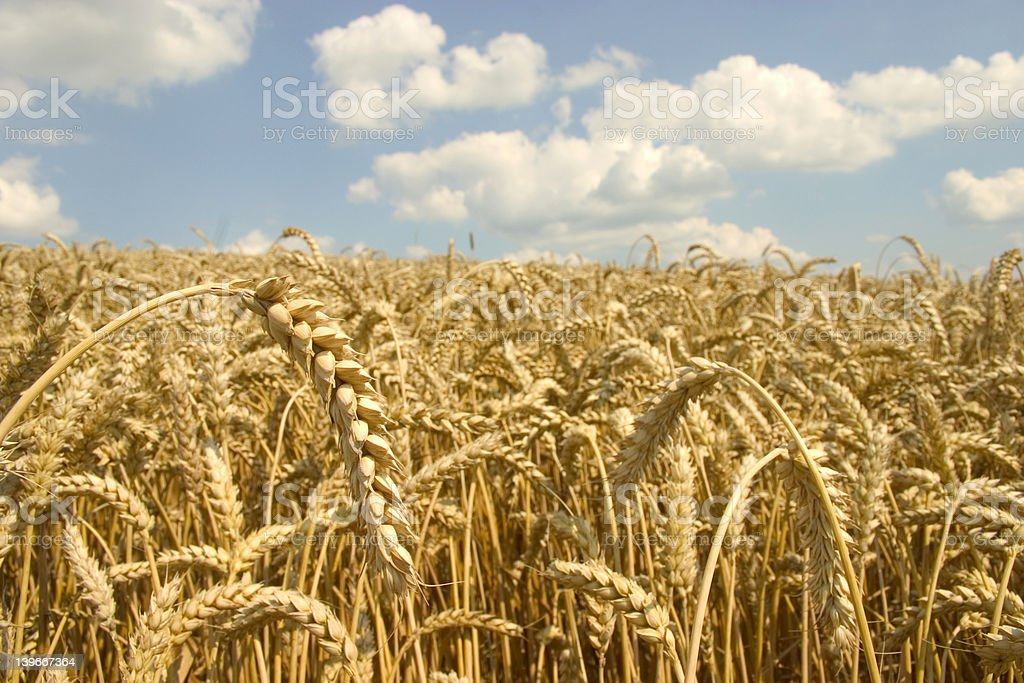 Field, later bread royalty-free stock photo