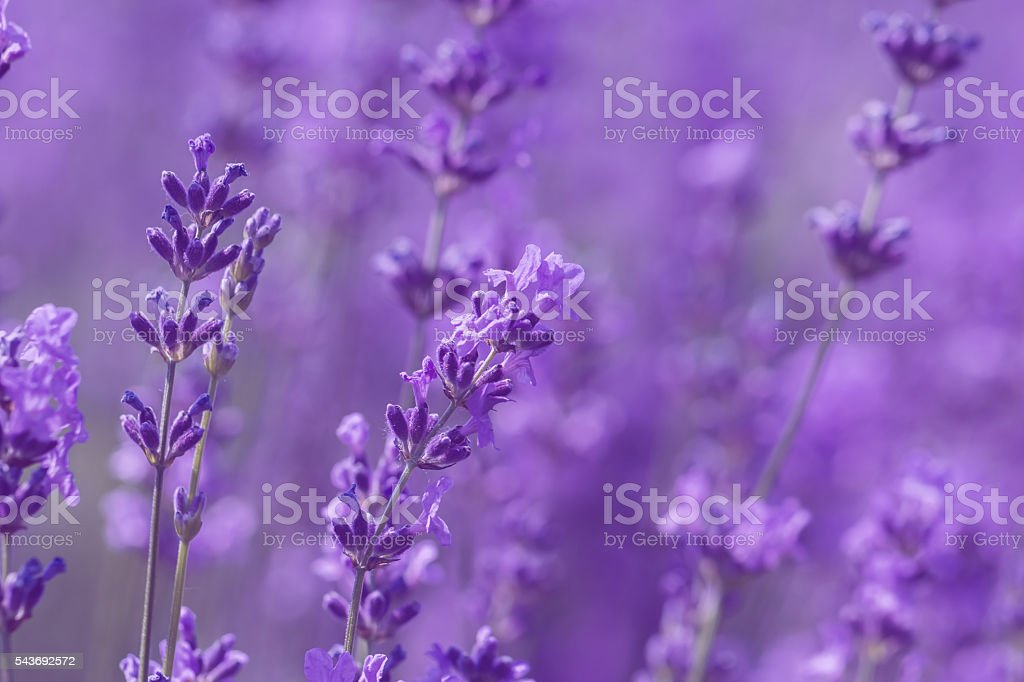 field lavender flowers stock photo