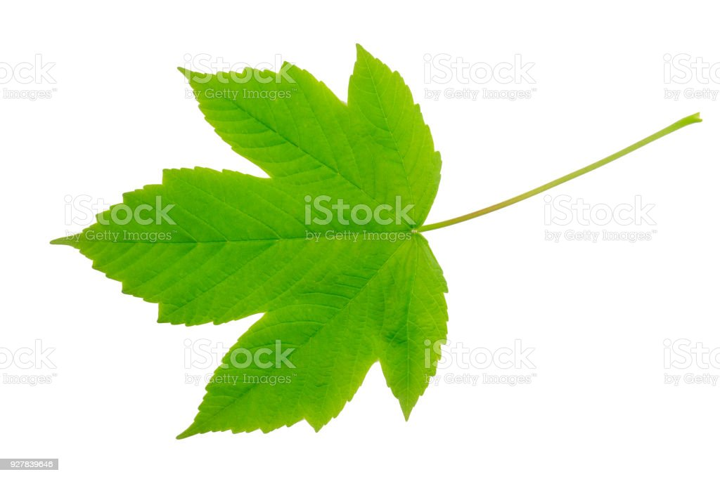 Field Maple Leaf Isolated On A White Background Stock Photo More