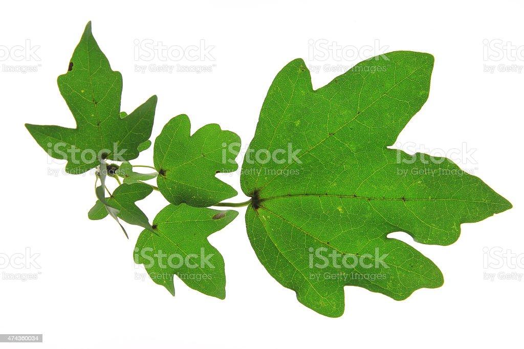 Field maple (Acer campestre) – Foto