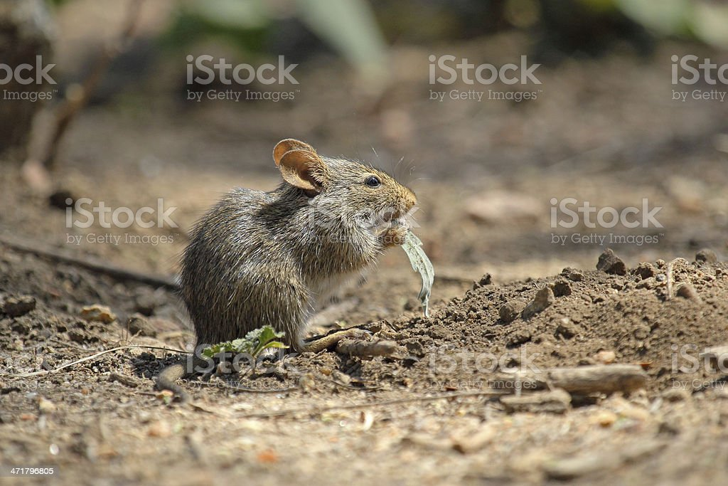 Field mouse eating a leaf stock photo