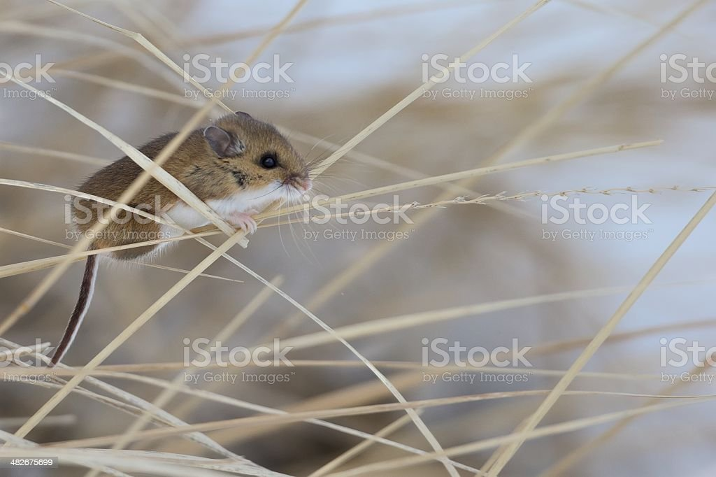 Field Mouse harvesting seeds stock photo