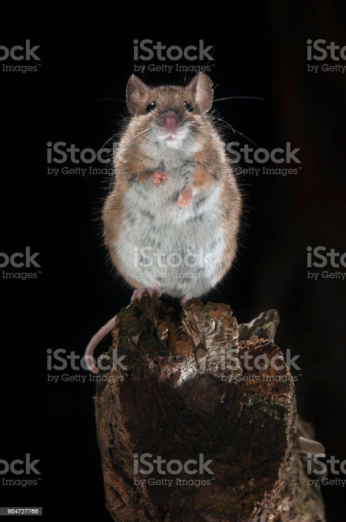 Fangen Sie Maus Auf Einem Stick Stockfoto Und Mehr Bilder