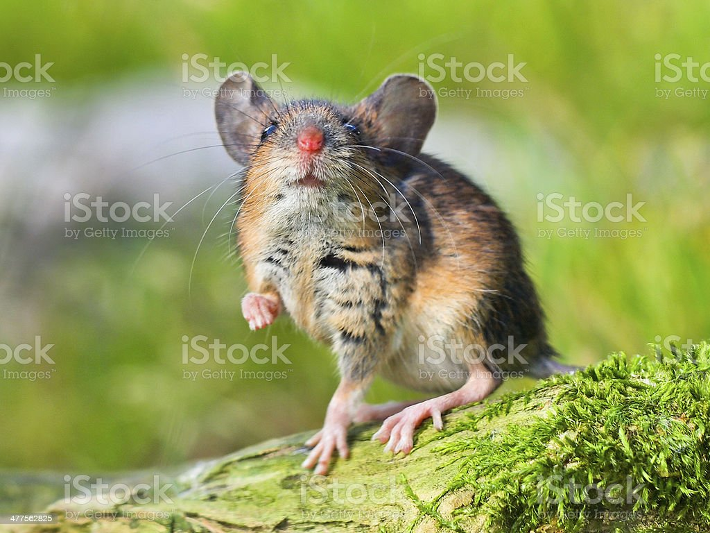 Field Mouse (Apodemus sylvaticus) stock photo