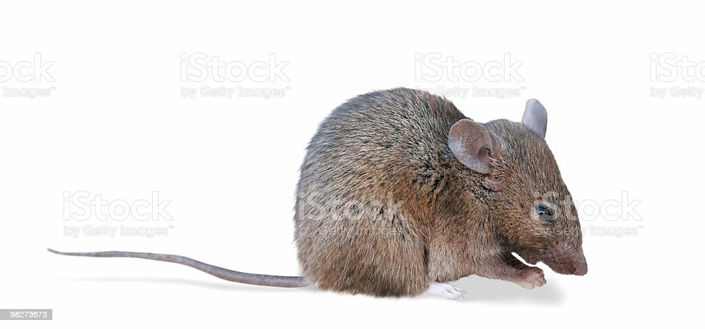Field Mouse (clipping path) royalty-free stock photo