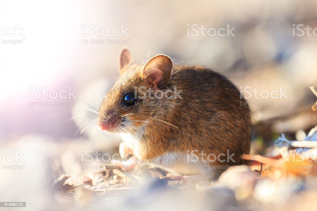 field mouse sitting among the rocks with sunny hotspot stock photo