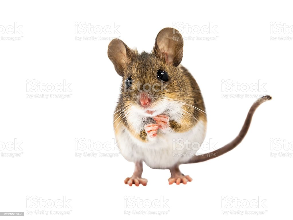 Field Mouse standing on white background stock photo