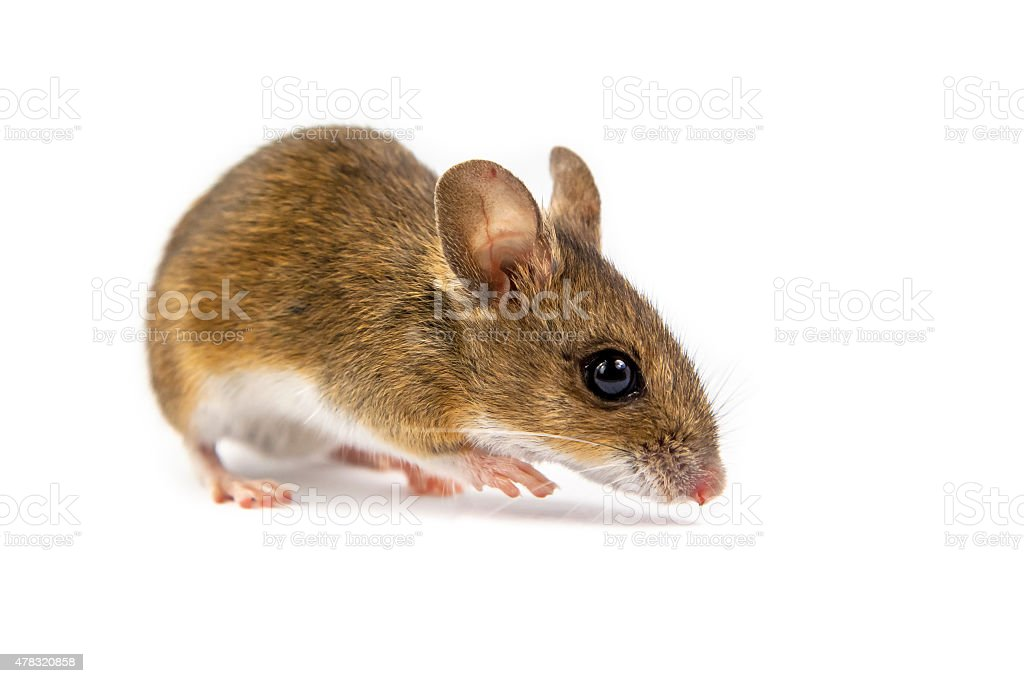 Field Mouse watching in camera stock photo