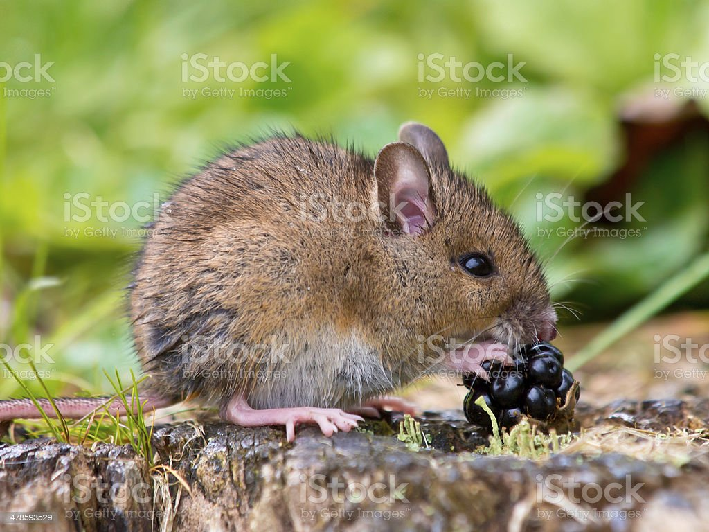 Field mouse with fruit stock photo