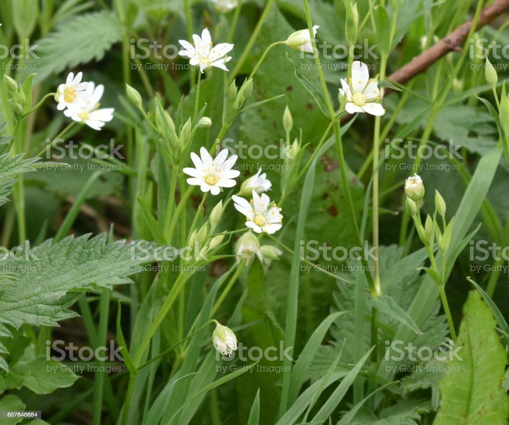 Field Mouse-Ear Chickweed Cerastium arvense) stock photo